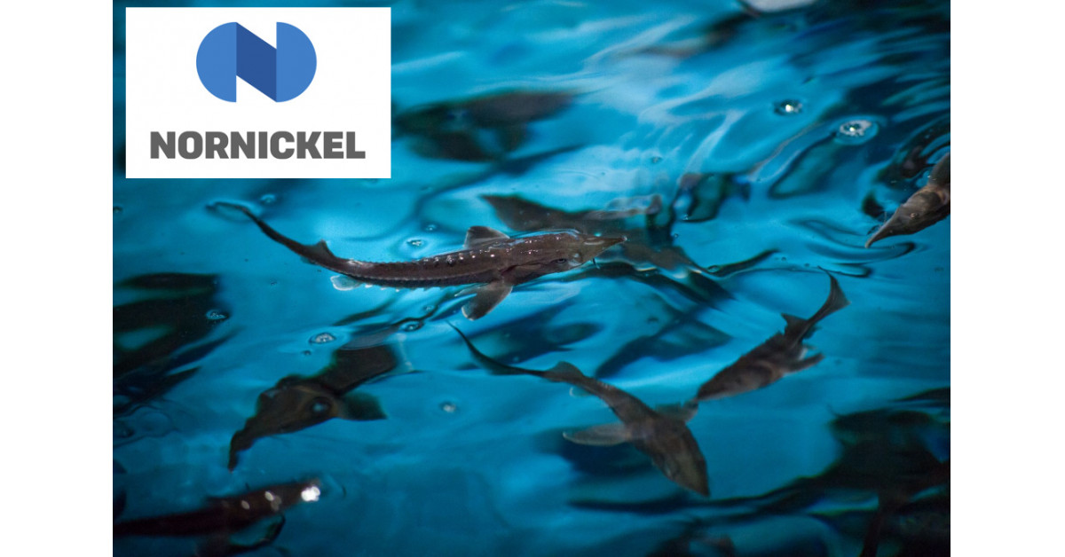 Nornickel Restocks Yenisei River With 200,000 Sturgeon as A part of Biodiversity Initiatives